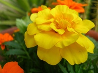 Marigolds - French Double Dwarf