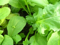 Arugula or Rocket