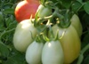 Roma Tomatoes ripen in the Arizona sun
