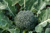 Calabrese Broccoli (Green Sprouting)