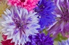 Bachelor Buttons Mixed (Centaurea Cyanus) Flowers