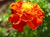 Marigolds-Crackerjack Mix