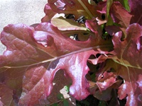 Red Salad Bowl Lettuce